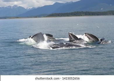 Humpback Whales Bubble Net Feeding in Juneau, Alaska