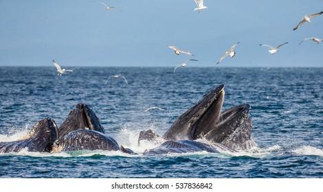 Humpback whales bubble net feeding. Chatham Strait area. Alaska. USA. An excellent illustration.