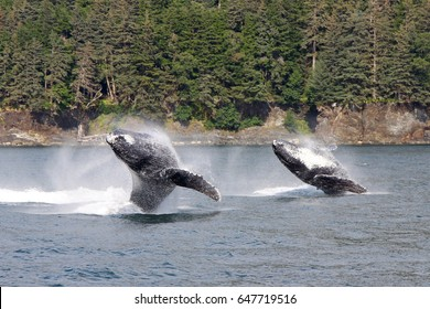 humpback whales bubblenet feeding in Juneau Alaska