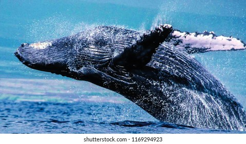 Humpback whales  can push themselves right out of the water, twisting in the air to land on their backs with an enormous splash.
