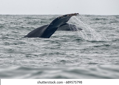 Humpback Whales Cooperatively Feeding on Anchovies