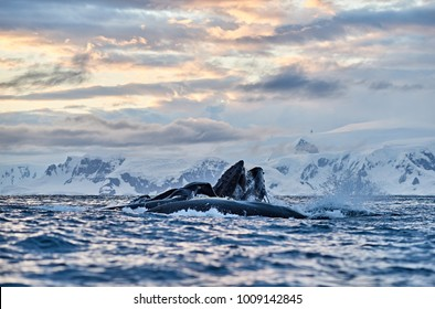 Humpback whales feeding in Antarctica at sunset with mountains