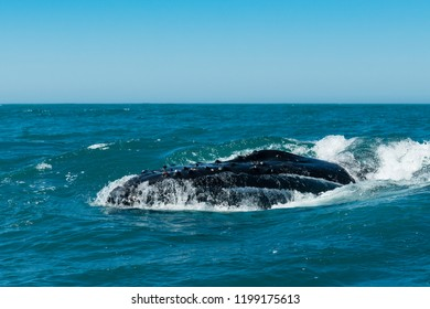 Humpback whales feeding on krill off the coast of South Africa near Langebaan.