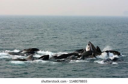 Humpback whales feeding using bubble netting as a group, near Juneau, Alaska, United States of America (USA)