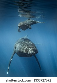 Humpback whales of Hawaii