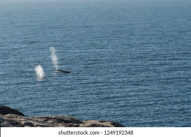 Humpback whales, Megaptera novaeangliae, surfacing as seen from above with blow