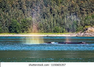 Humpback Whales Playing in the Ocean in Juneau, Alaska