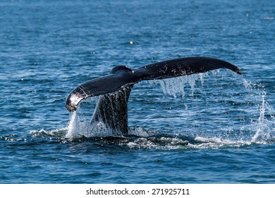 Humpback whale's tail with water splash.