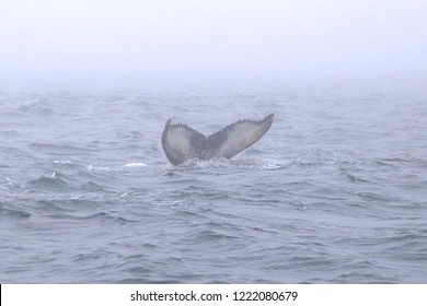 Humpbacked Whale fluking