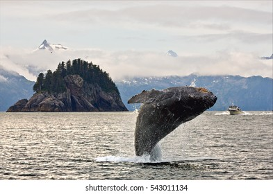 Humpbacks whale breaching jumping. Alaska.