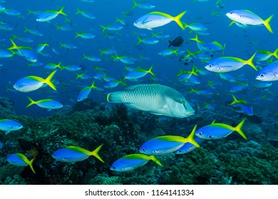 humphead wrasse fish with school of blue and yellow fusilier