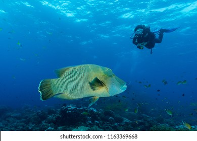 humphead wrasse fish with woman diver