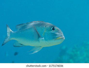 Humpnose big-eye bream (Monotaxis grandoculis) swimming in the water, Bali, Indonesia