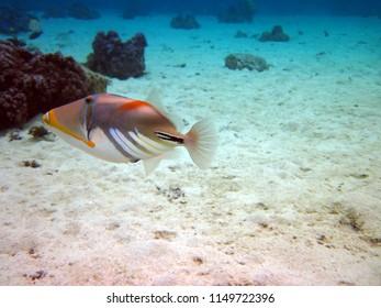 Humu Humu Triggerfish while snorkeling Moorea French Polynesia