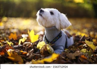 Hund Havanese Wald Herbst spazieren - Shutterstock ID 1563712924