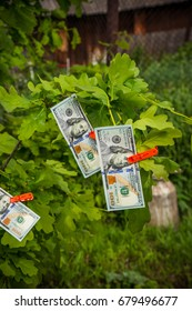 Hundred dollar bills hang on a tree. This is an evergreen spruce or pine. It's like a Christmas tree. Dollars are fixed on branches with the help of clothespins.