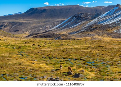 Hundreds of Alpacas and Llamas grazing in a fertile valley inside the National Reserve of Salinas y Aguada Blanca near the Colca Canyon at high altitude in the Andes Mountain Range, Arequipa, Peru.