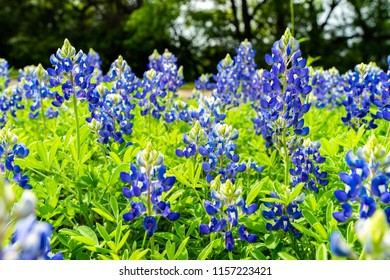 Hundreds of beautiful bluebonnet flowers bloom in a field. The bluebonnet is the state flower of Texas.