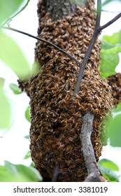 Hundreds Bees on a tree branch