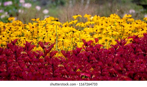 Hundreds of blackeyed susans with red leaves in foreground.