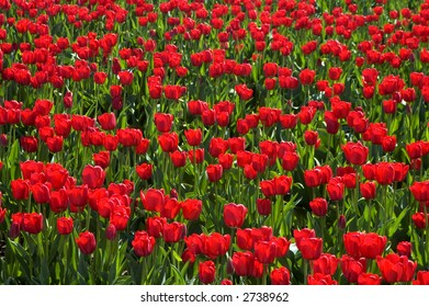 Hundreds of bright red tulips