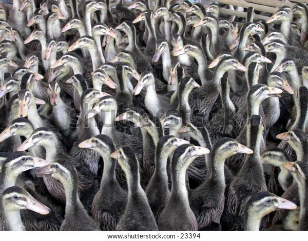 A hundreds of ducks