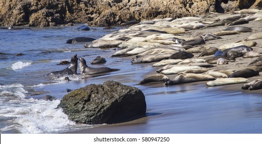 Hundreds of elephant seals (Mirounga) bask on the beach while two males fight in the surf at San Simeon, California.