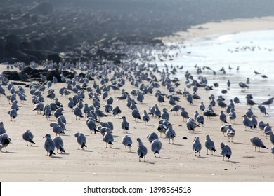 Hundreds of migratory brown headed seagulls resting on the sand at Marine Drive Mumbai India