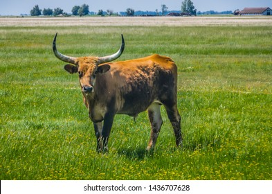 Hungarian Aurochs - A breeding program in the Hortibagyi National park is trying ti reestablush a herd of these extinct oxen.