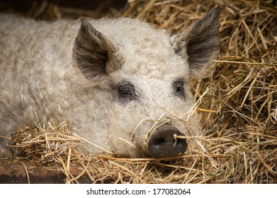 Hungarian breed curly haired mangalica pig laying in the straw in piggery