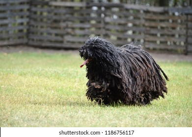 Hungarian Dog Breed Puli