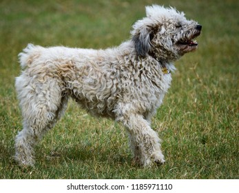 Hungarian Dog Breed Pumi