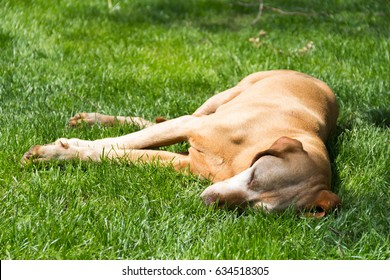 Hungarian dog complete relaxed in garden