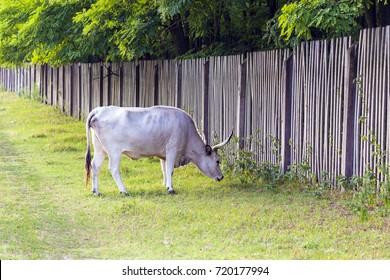 Hungarian gray cattle graze the green field.
