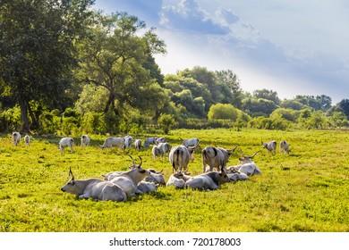 Hungarian gray cattle herd grazes in the green field.