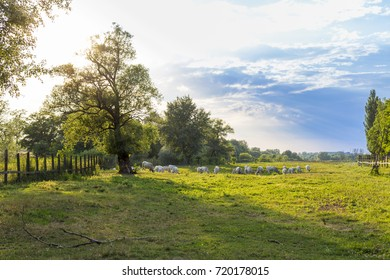 Hungarian gray cattle herd grazes in the green field.