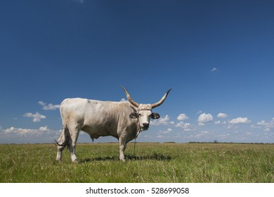 "Hungarian Grey cattle grazing in Hortobagy National Park, ""Puszta"", in the first and largest national park of Hungary with blue sky"