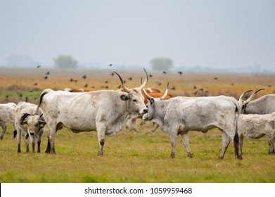 Hungarian Grey Cattle in Hortobagy
