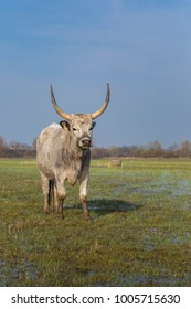 The Hungarian Grey (Hungarian: Magyar Szurke), , is an ancient breed of domestic beef cattle indigenous to Hungary.