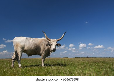 The Hungarian Grey (Hungarian: Magyar Szurke), also known as the Hungarian Steppe, is an ancient breed of domestic beef cattle indigenous to Hungary; grazing on Hortobagy pasture, grassland