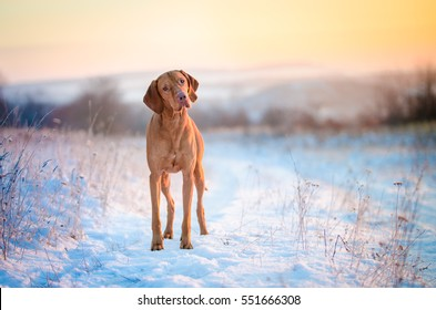 Hungarian hound dog in winter time