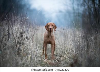 Hungarian hound vizsla dog
