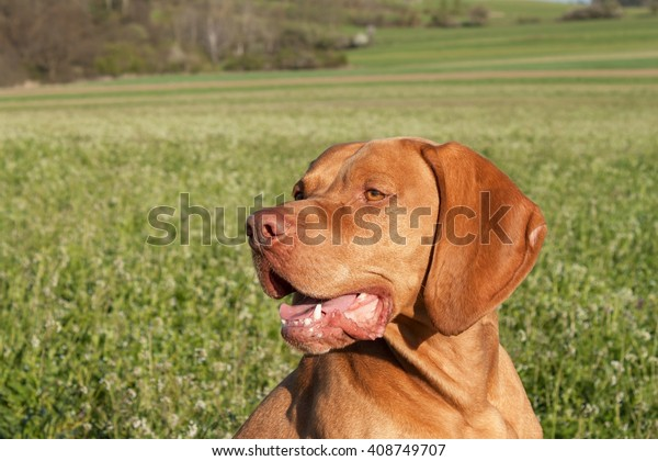 Hungarian hunting hound on a greenfield site. Spring sunny day on hunting with dogs. Viszla on a green field. Hound.