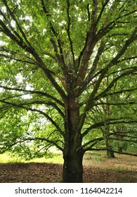 Hungarian oak tree (Quercus frainetto) in a park