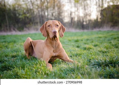 Hungarian pointer dog