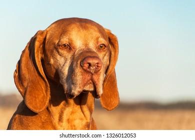 Hungarian pointer Vizsla. Old dog. Loyal friend. Hound. Portrait of a hunter.