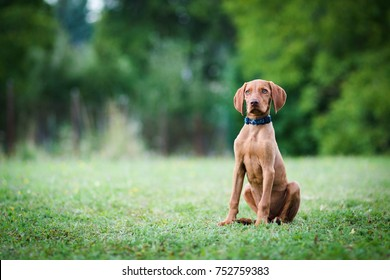 Hungarian pointing dog, vizsla puppy sits in the grass