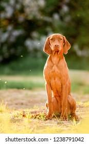 Hungarian pointing dog, vizsla sit on grass. white trees on background