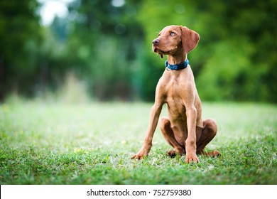 Hungarian pointing dog, vizsla sits in the grass