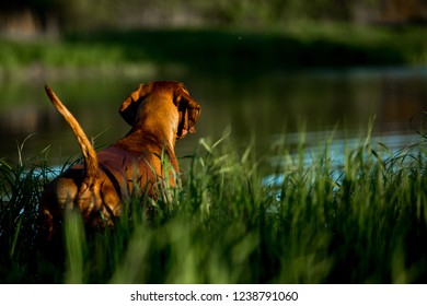 Hungarian pointing dog, vizsla swim in river on grass. river on background